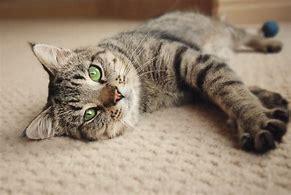 Gedraagt je kat zich raar? Ook díe ondervindt impact van de coronacrisis